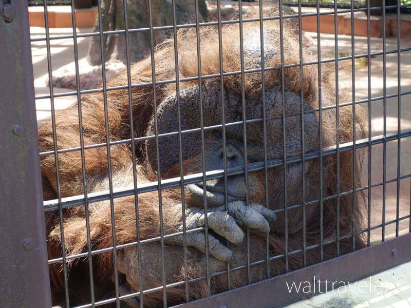 千葉市動物公園 オランウータン フトシ