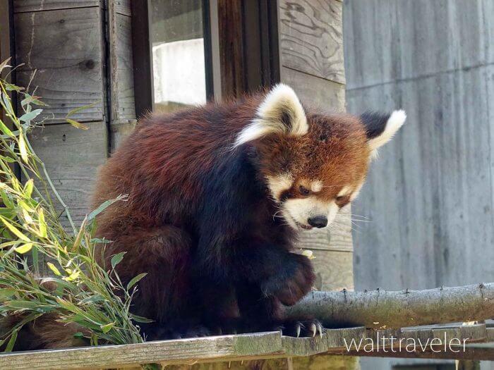 【千葉市動物公園】風太くんに会いに一人で動物園に行ってきた!