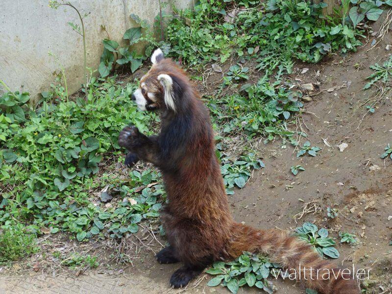 千葉市動物公園 レッサーパンダ