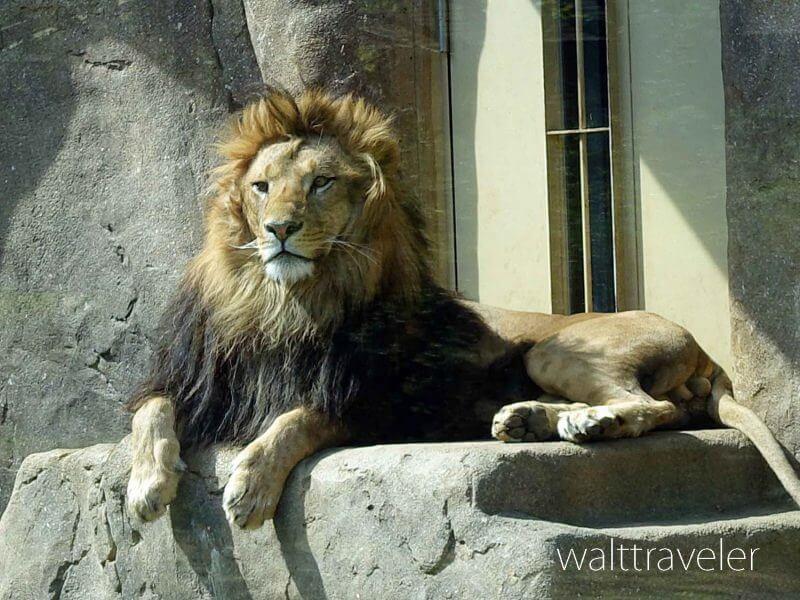 千葉市動物公園 ライオン