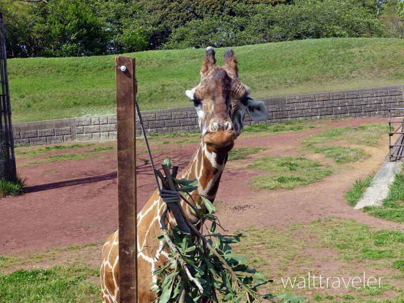 千葉市動物公園 キリン
