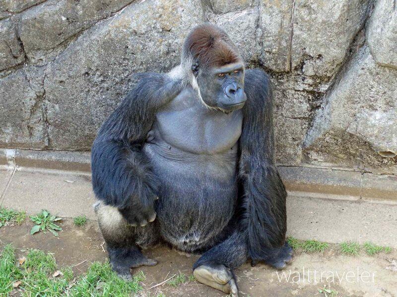 千葉市動物公園 ゴリラ