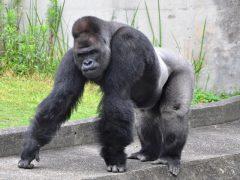 東山動物園 イケメンゴリラ シャバーニ