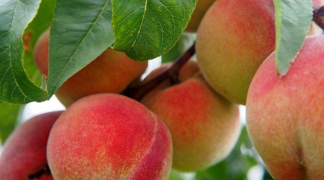 関東の桃狩りおすすめ農園7選!食べ放題・時期は?