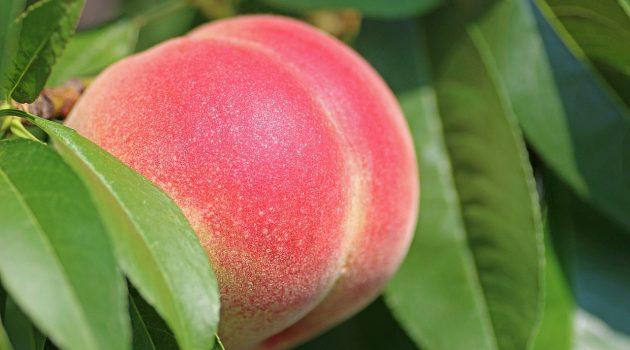 山梨の桃狩りおすすめ農園7選!食べ放題・時期は?