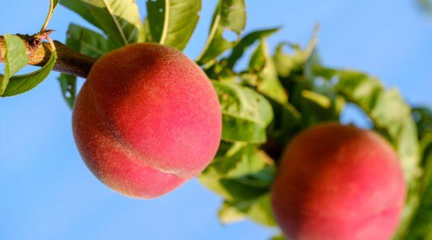 福島の桃狩りおすすめ農園7選!食べ放題・時期は?