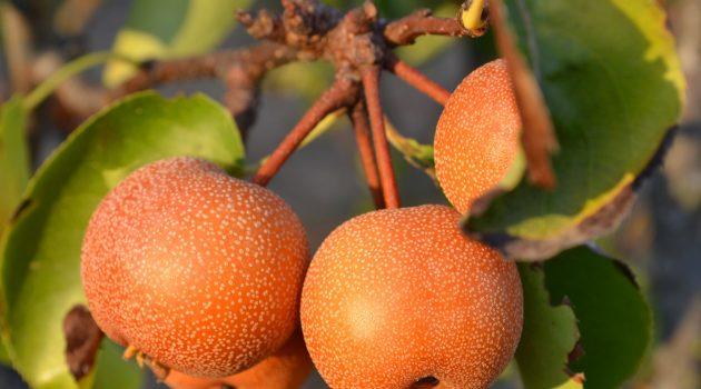 関西の梨狩りおすすめ農園7選!食べ放題・時期は?