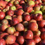りんご りんご狩り